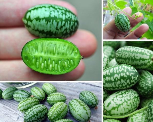 cuca-melon